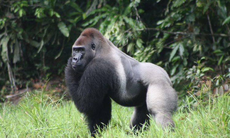 Gorilla Trekking in Kahuzi Biega National Park